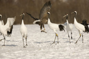 Red-crowned cranes at Akan International Crane Center GRUS
