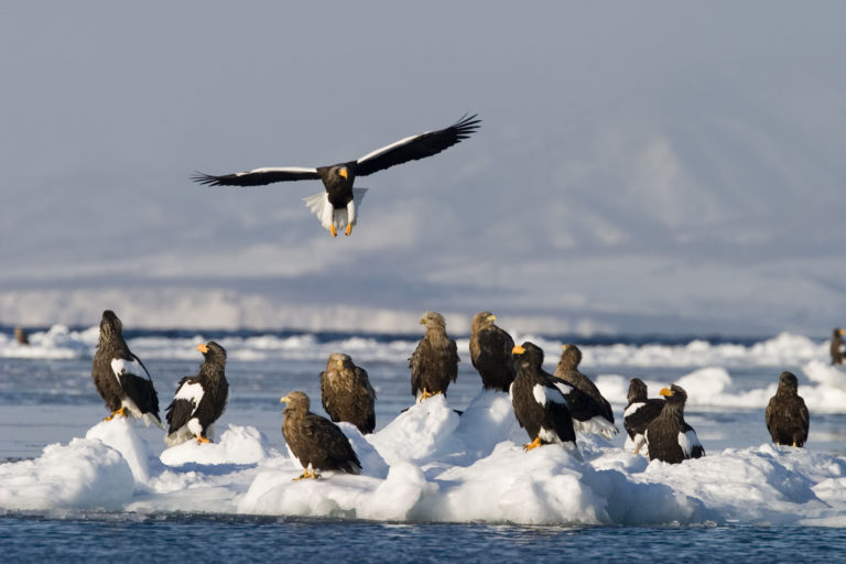 Steller's sea eagles and white-tailed eagles resting on drift ice covering the sea