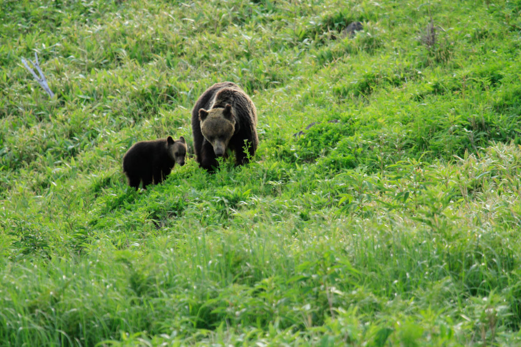 Yezo brown bears