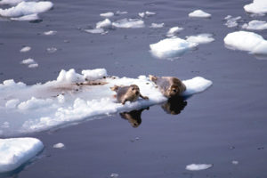 Seals resting on ice floes