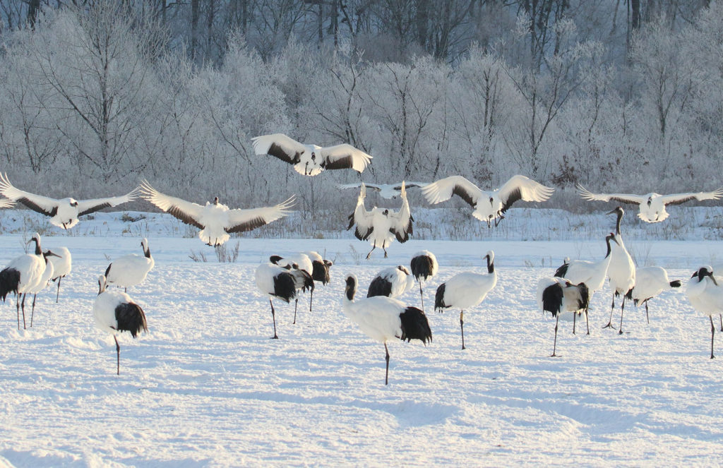 Morning red-crowned cranes