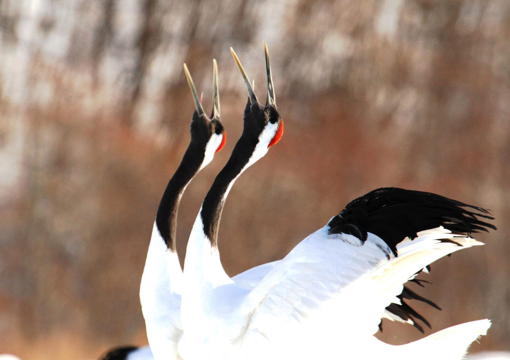 Couple of red-crowned cranes