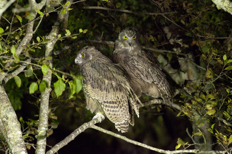Blakiston's fish owl in Rausu town