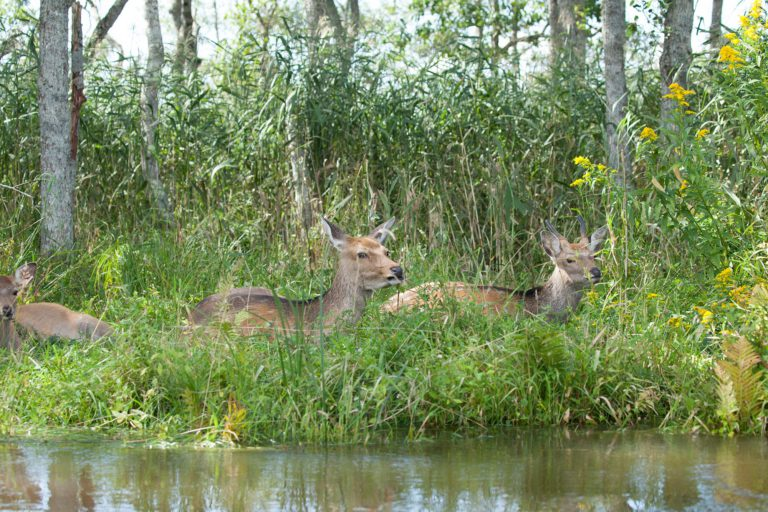 Yezo deers in Kushiro Wetlands National Park