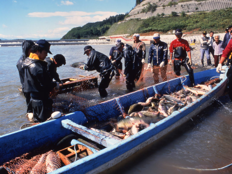 Original and traditional shrimp fishing