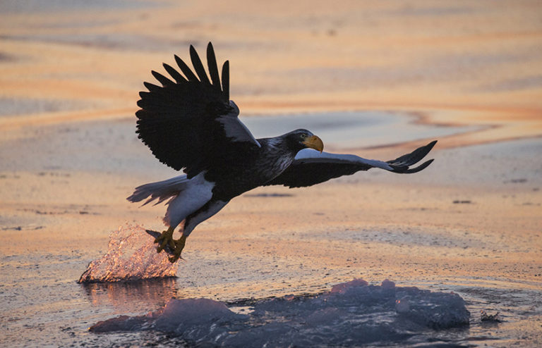 Steller's sea eagle in Shiretoko Rausu