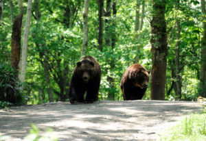 Watch brown bears