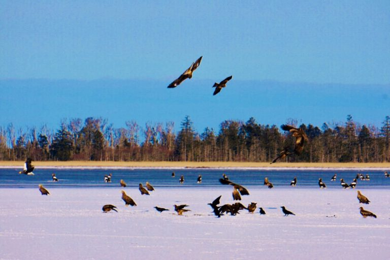 Watch Steller's sea eagles in eastern Hokkaido